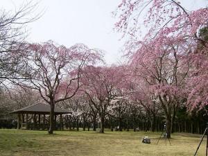 2017年関東桜 マナー